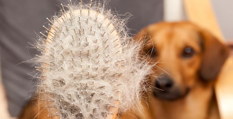 débourrage poils de chien